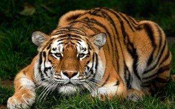 тигр, трава, животные, кошка, киска, киса, фоновые рисунки, животно е