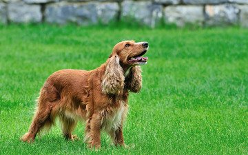 трава, спаниэль, кокер спаниэль, собака, кокер-спаниель