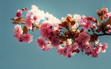 branch, leaves, background, blue, pink flowers