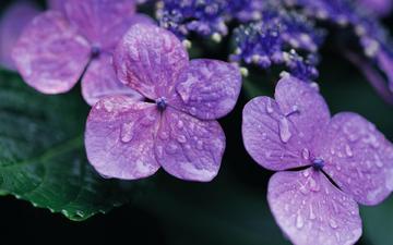 цветы, роса, капли, лепестки, фиолетовый, растение, лиловый, фиалки, гортензия