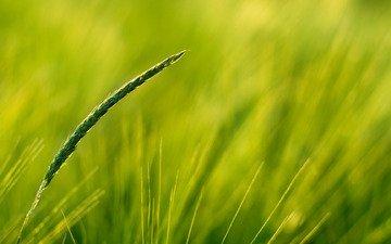 зелень, поле, колос