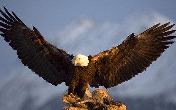 крылья, орел, птица, аляска, в горах