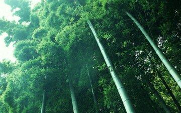свет, растения, зелёный, бамбук