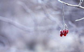 ветка, снег, зима, иней, красные, ягоды