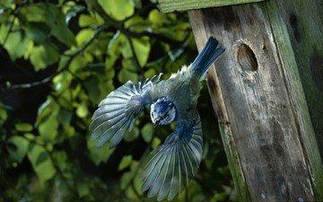 полет, крылья, птица, домик, птичка, скворечник, синица