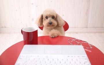 стол, собака, компьютер, пудель