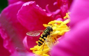 цветок, лепестки, розовый, пчела