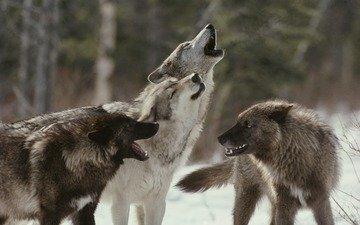 волки, стая, воют