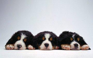 три, веселых, щенка
