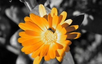 цвет, оранжевый, пчела