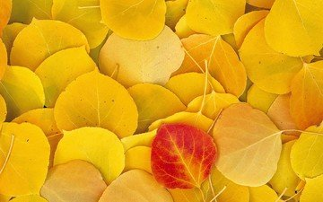 leaves, autumn, yellow