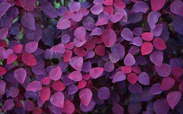 листья, осень, фиолетовый, красивые