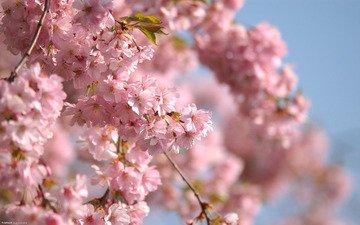 небо, ветви, весна, розовые цветы
