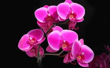красота, орхидея, фаленопсис, малиновая