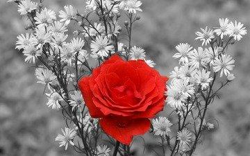 роза, букет, чб