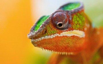 животное, хамелеон, цветной