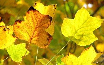 желтый, осень, желтые листья, передний план