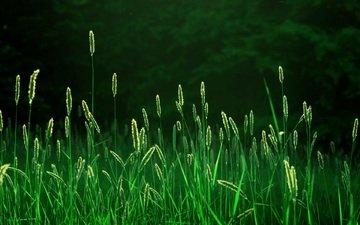 свет, трава, природа, лес, лучи, утро, поле, пейзажи, свежесть, nature wallpapers, колосья, колоски, fields