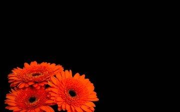 цветы, черный фон, герберы