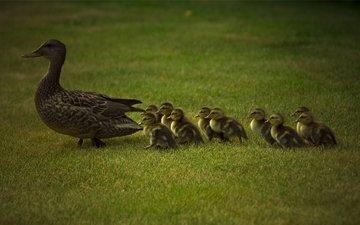 трава, животные, утки, животно е