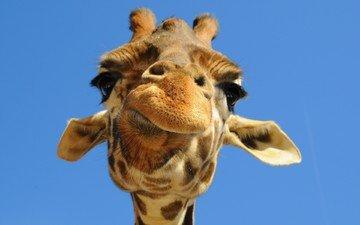 морда, небо, животное, жираф