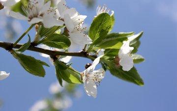 небо, цветы, вишня, божая коровка