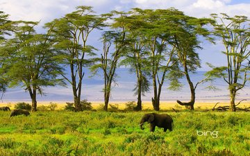 природа, зелень, слон
