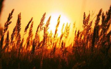 трава, солнце, природа, поле, рассвет, колоски