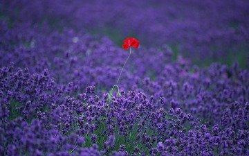 цветы, поле, лаванда, мак