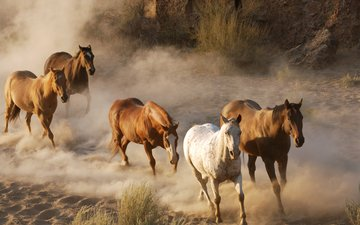 фото, животные, лошади, кони, пыль, стадо, табун, дикая природа