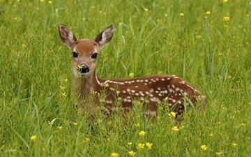 трава, зелень, олень, взгляд