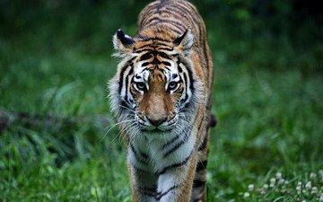 тигр, трава, лес, хищник, животное, кошки, киска, животно е