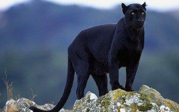 взгляд, пантера, черная