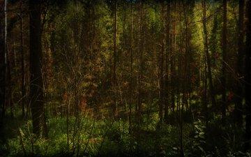 лес, елки, солнечные лучи
