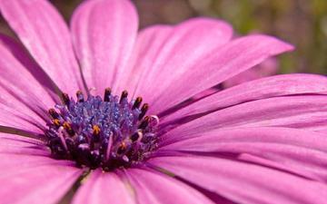 фиолетовый, растение, пыльца