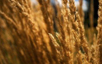 трава, природа, макро, поле, колоски, сухая, сухие, травы, пушистая
