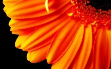 цветок, лепестки, оранжевый, черный фон, гербера