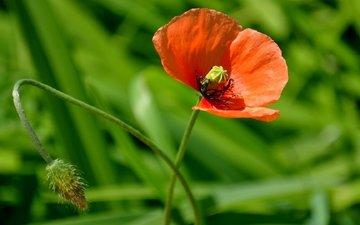 природа, обои, макро фото, цветок, мак, macro nature wallpapers, цветы