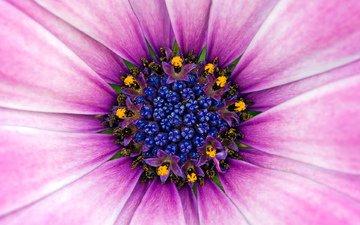 синий, цветок, лепестки, розовый, пыльца