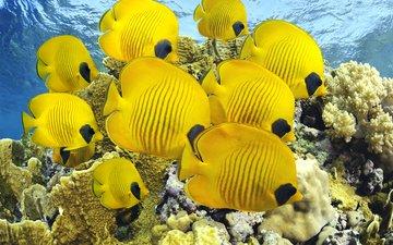 море, рыбки, океан, кораллы, дайвинг, рыбы бабочки