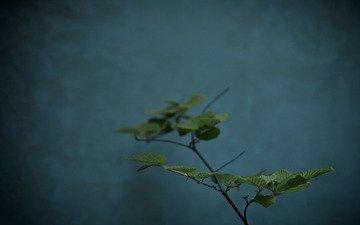 цветы, обои, макро фото, листья, растение