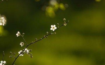 цветок, весна, веточка