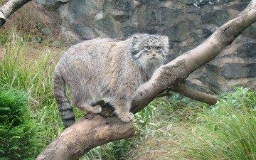 дерево, взгляд, манул, дикая кошка
