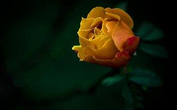 цветы, природа, обои, фото, роза