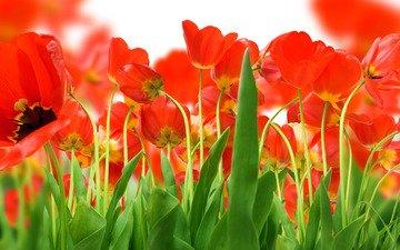 зелень, поле, красных, тюльпанов