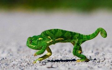 зелёный, хамелеон, чешуя