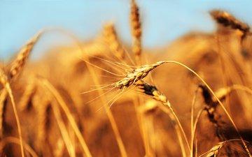 поле, пшеница, хлеб, колос
