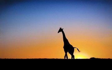 солнце, закат, жираф