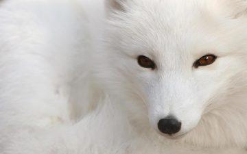 белый, лис