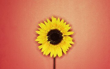 yellow, red, sunflower